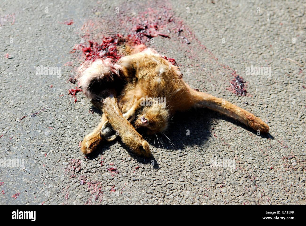 Roadkill Hare.Stock Photo