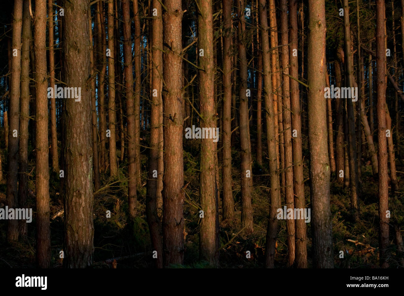 Forestry plantation at Stainburn Forest in the Washburn Valley near Harrogate Yorkshire England - Stock Image