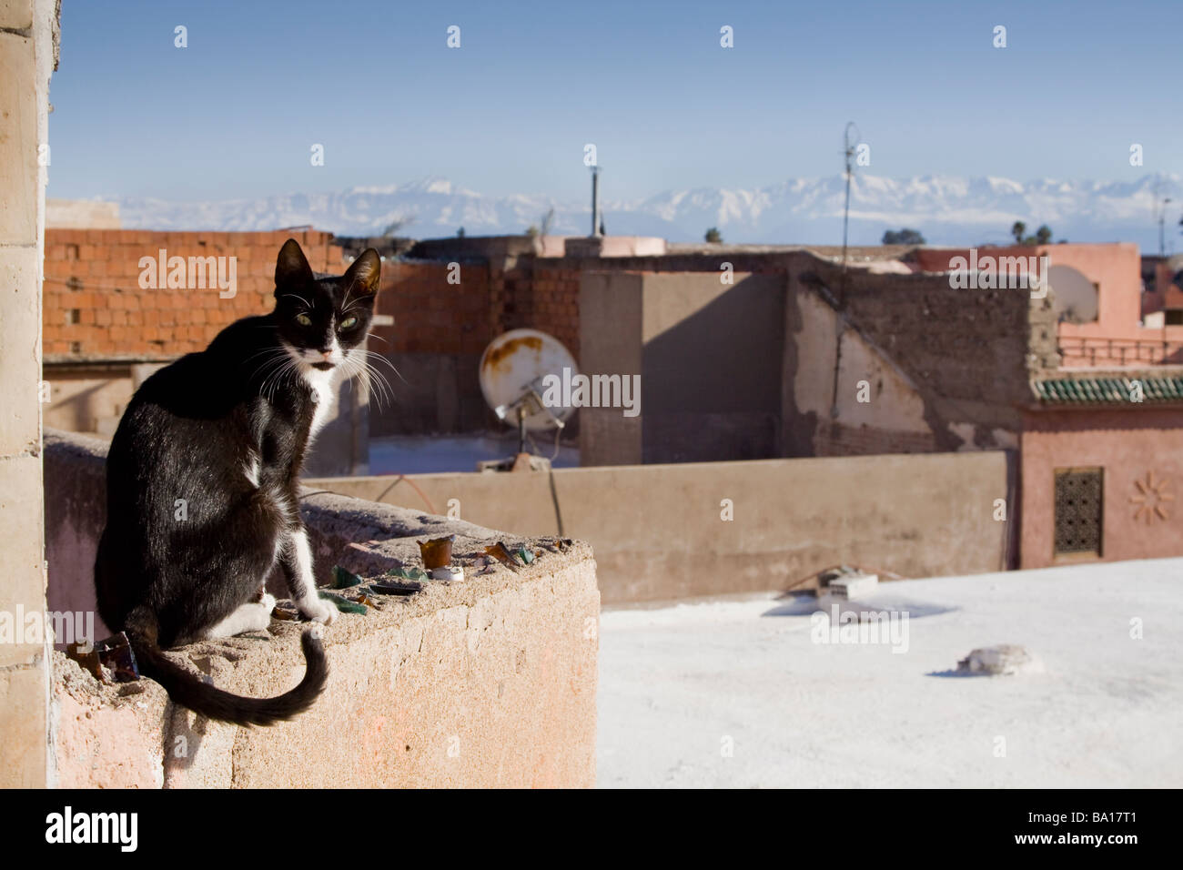 A stray cat on a wall seen from the roof terrace of a local cafe with the snow capped atlas mountains in the background - Stock Image