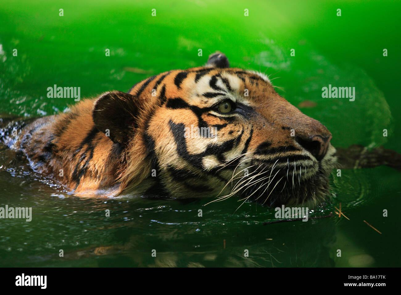 Bengal tiger Panthera tigris tigris swimming in the lake Stock Photo