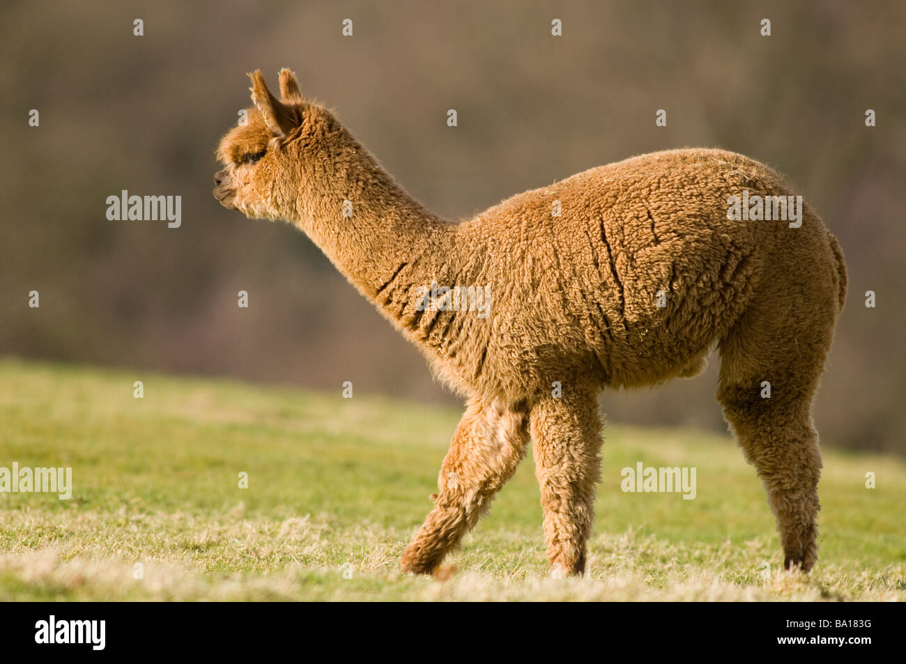 ALPACA Lama pacos - Stock Image