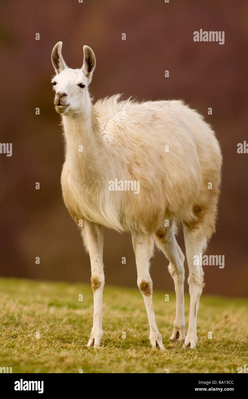 LLAMA Lama glama - Stock Image