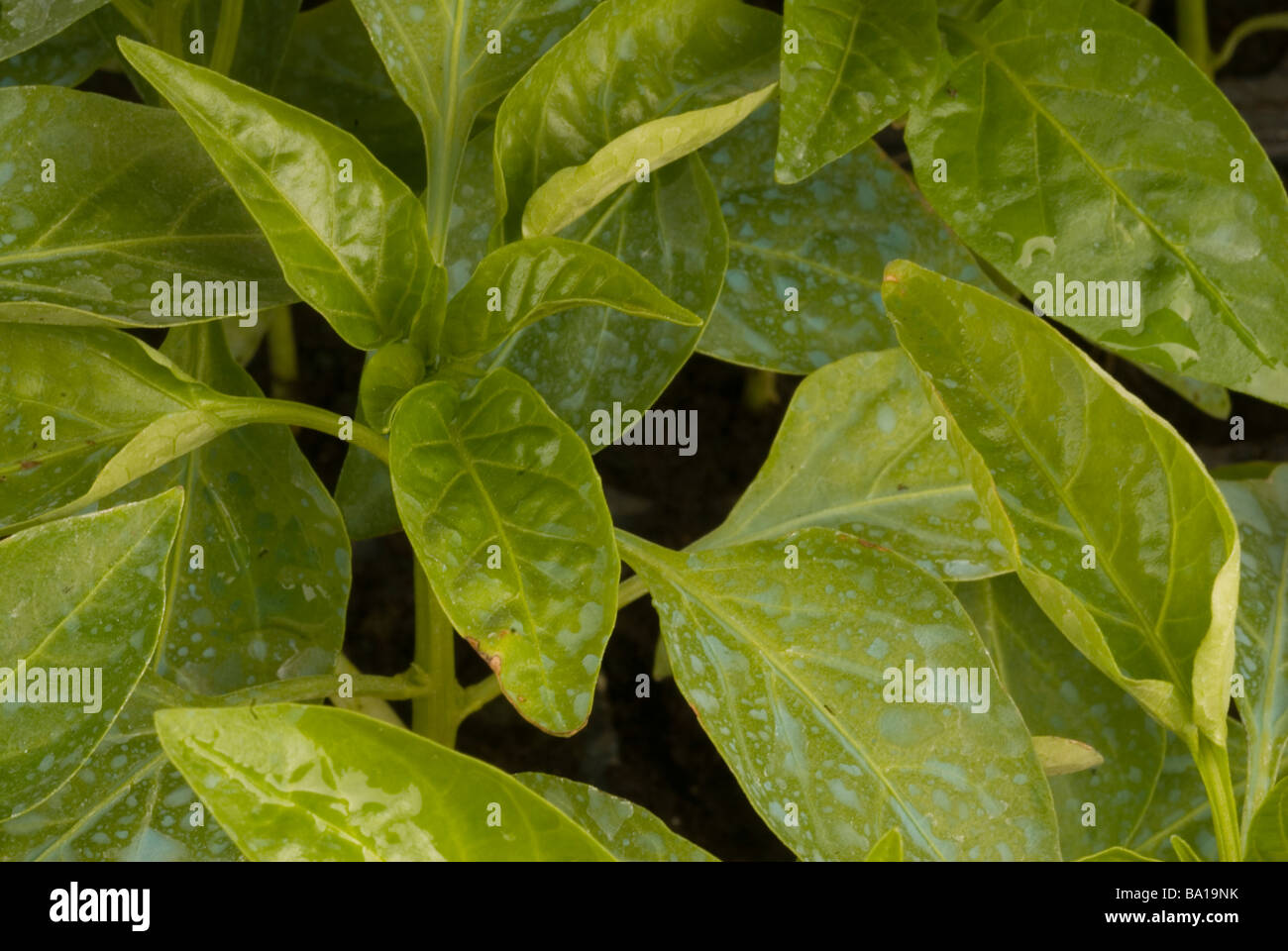 Red Bell pepper Capsicum annuum var aviculare, leafs with phitofarmacus on - Stock Image