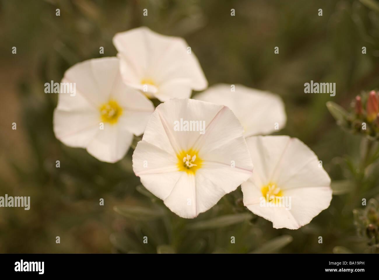 Freesia sp. 'White', Iridaceae - Stock Image