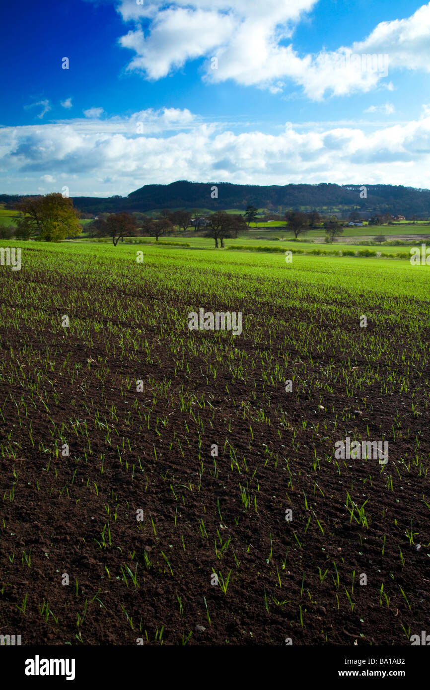 New shoots rising from sun bathed farmers field in rural cheshire near to the village of Barrowmore, Cheshire - Stock Image
