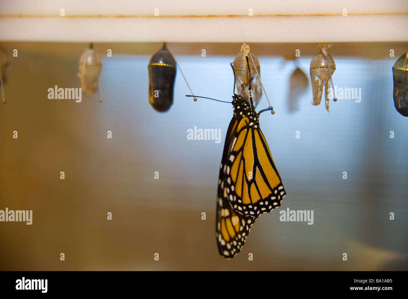 Monarch butterfly  emerges from chrysalis - Stock Image