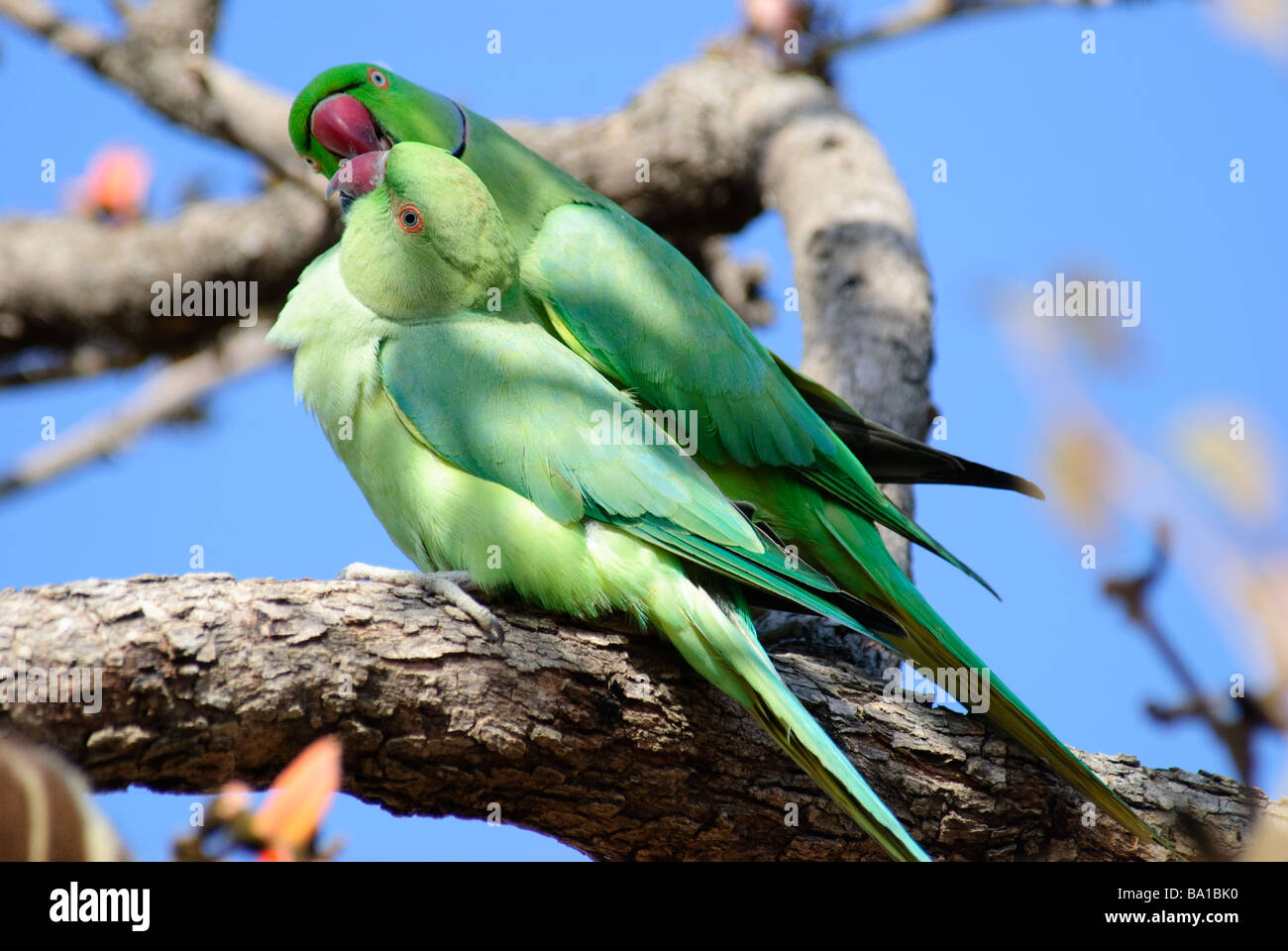 A pair of Indian Rose-ringed Parakeets Psittacula krameri fondling each other in Gujarat India Stock Photo