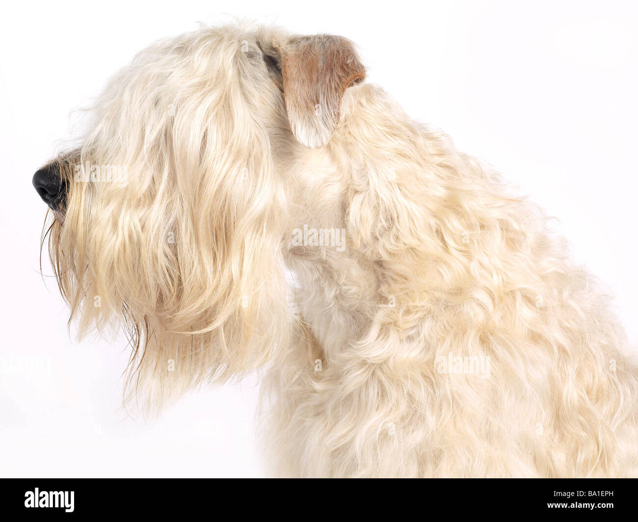 A portrait  of a soft coated wheaten terrier - Stock Image