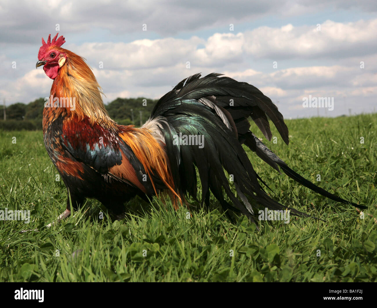 Colourful cockerel in a field - Stock Image
