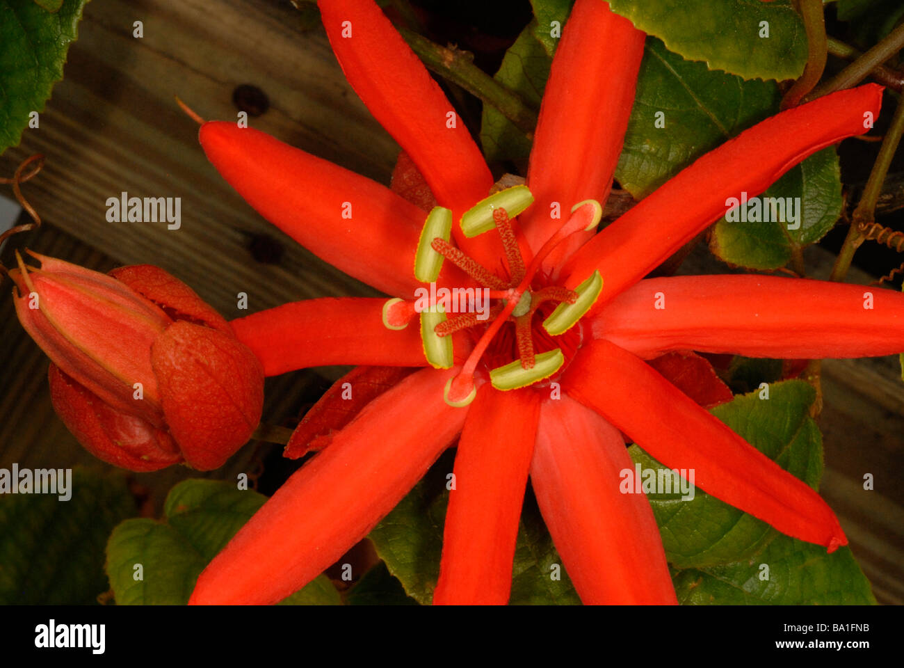 close up of passion flower - Stock Image