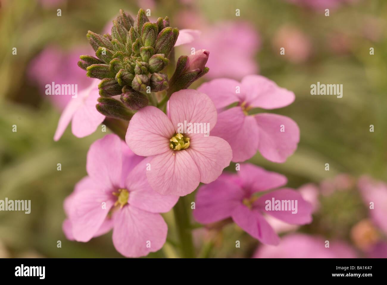 Bowles' perennial wallflower Erysimum bicolor 'Bowles' Mauve',  violacciocche, Brassicaceae - Stock Image