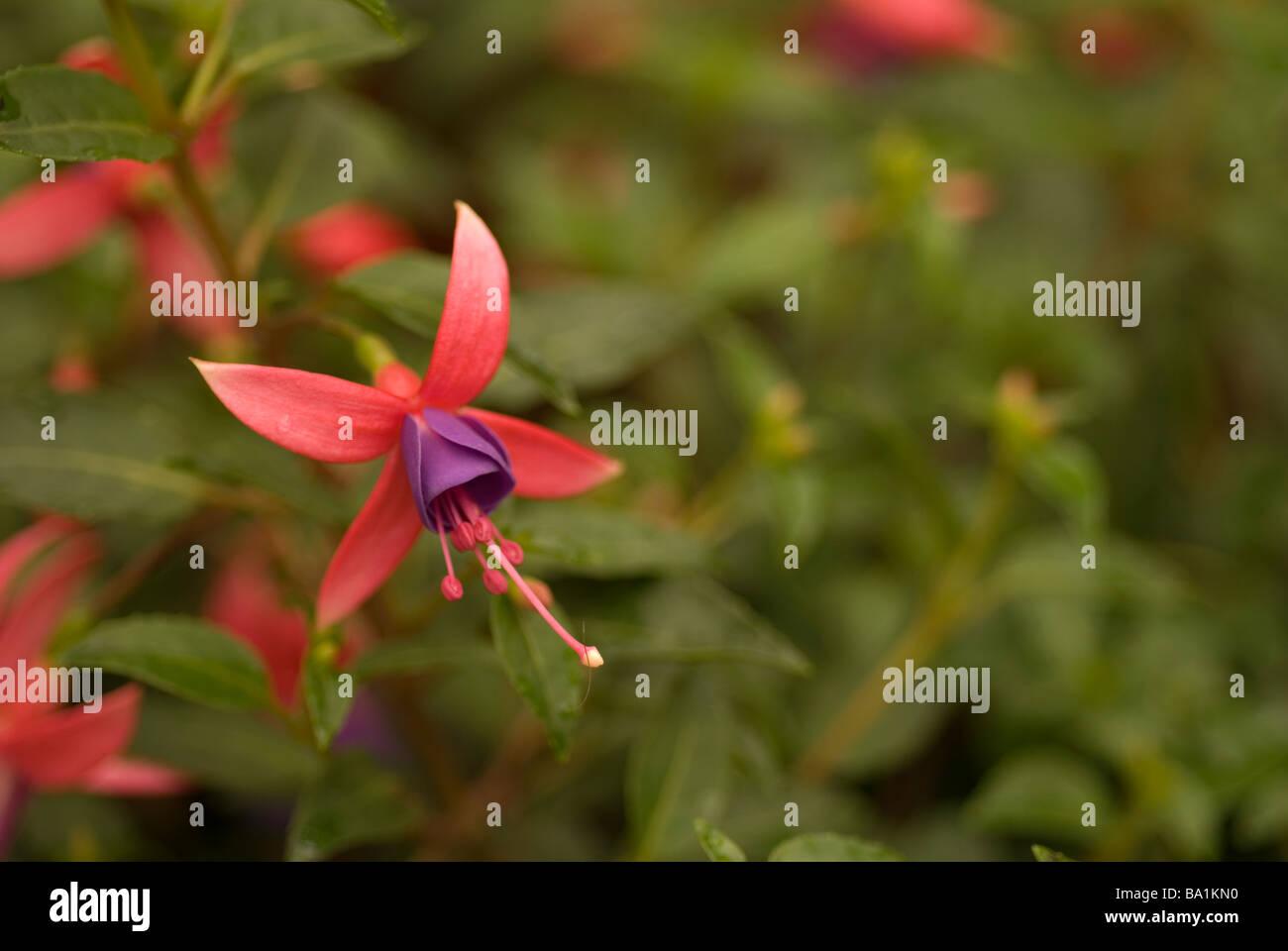 Fuchsia sp. 'Blue Eyes', Onagraceae - Stock Image