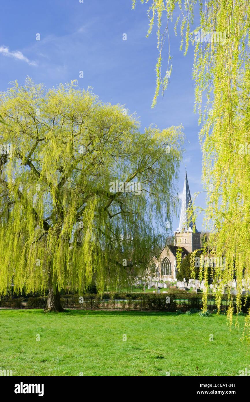 Godalming, Surrey, UK. Godalming parish church and weeping willows. - Stock Image