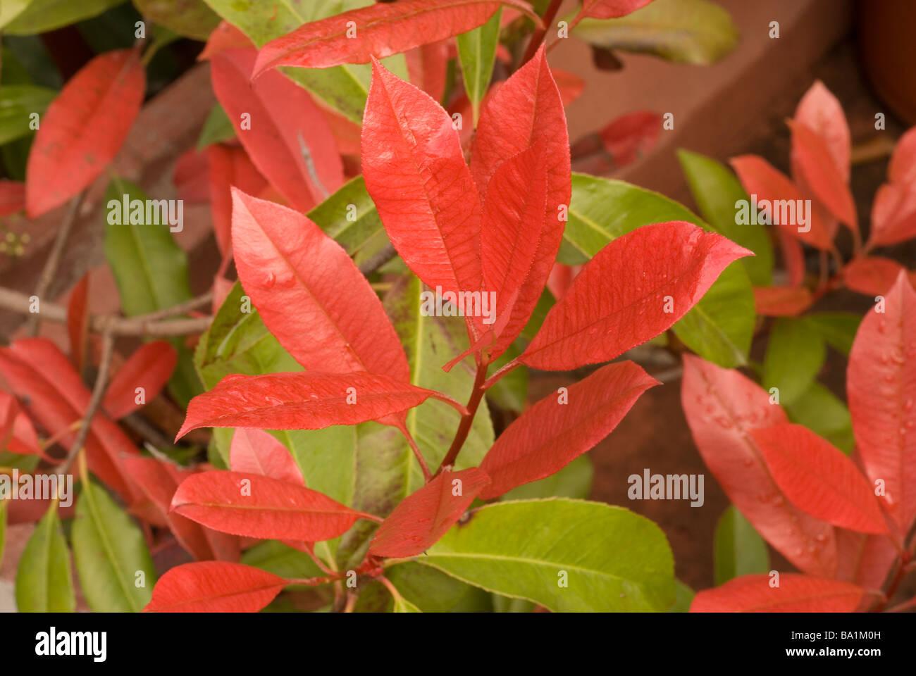 Photinia x fraseri flowers close up, Rosaceae - Stock Image