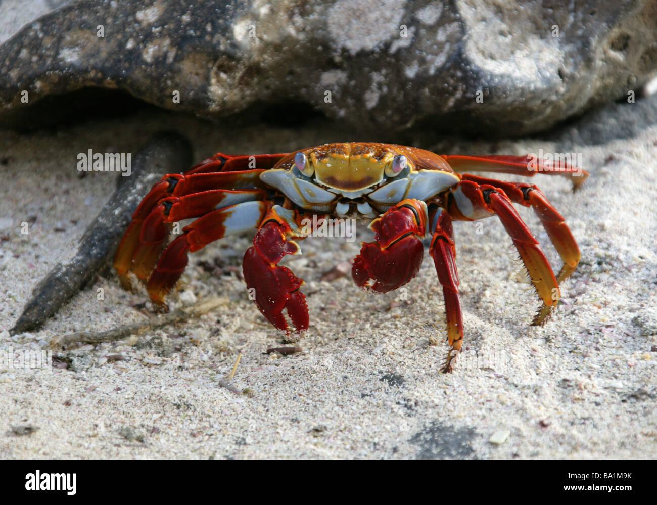 Sally Lightfoot Crab, Grapsus grapsus, Espanola Island, Galapagos Islands, Ecuador, South America - Stock Image