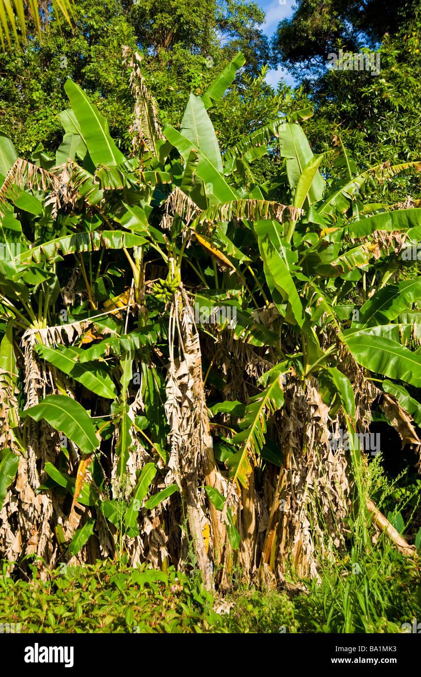 Banana trees Musa La Reunion France | Bananenbäume, La Reunion, France - Stock Image