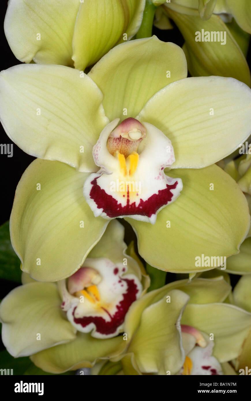 close up of center of orchid Cymbidium - Stock Image
