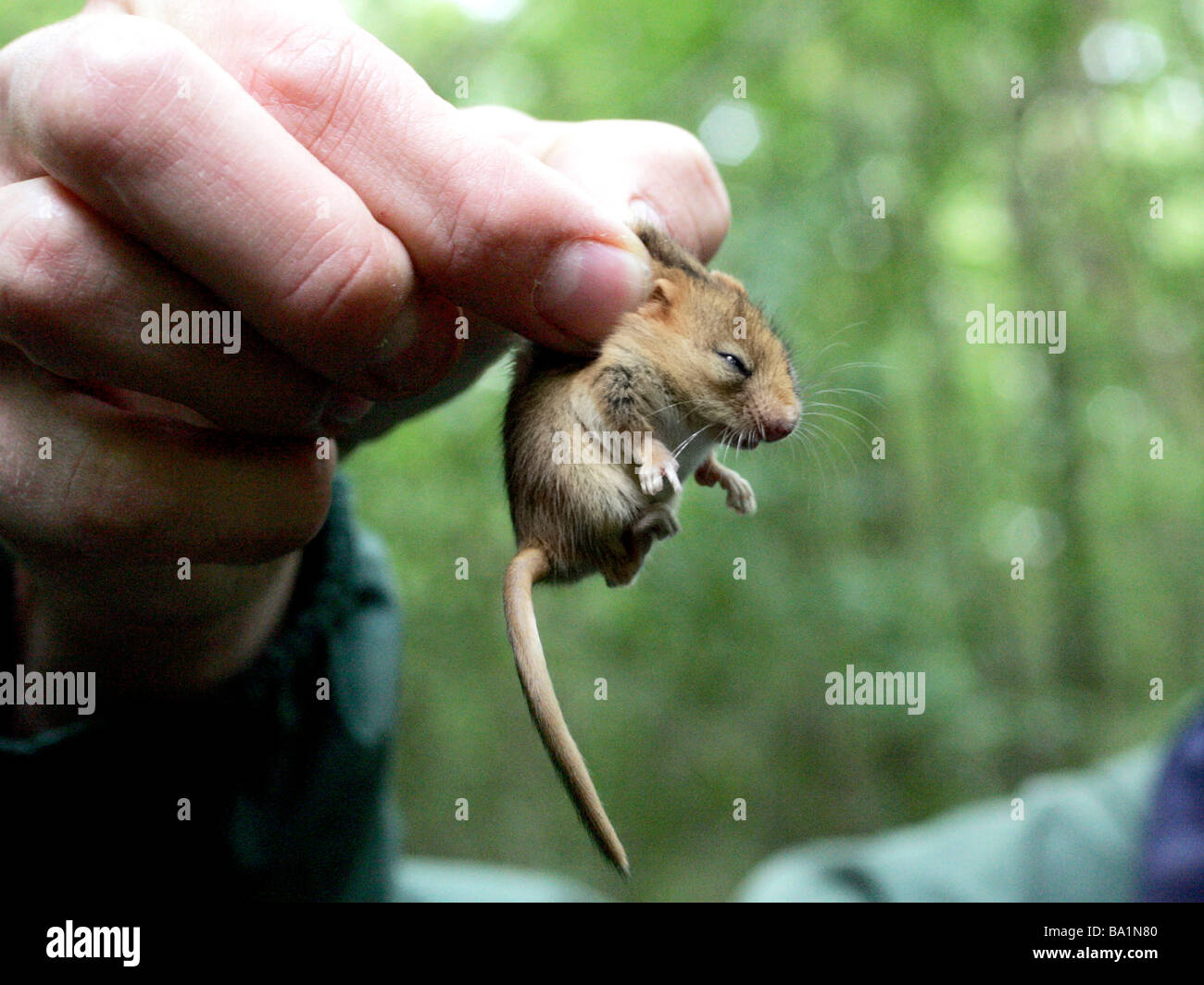 A tiny doormouse being held - Stock Image