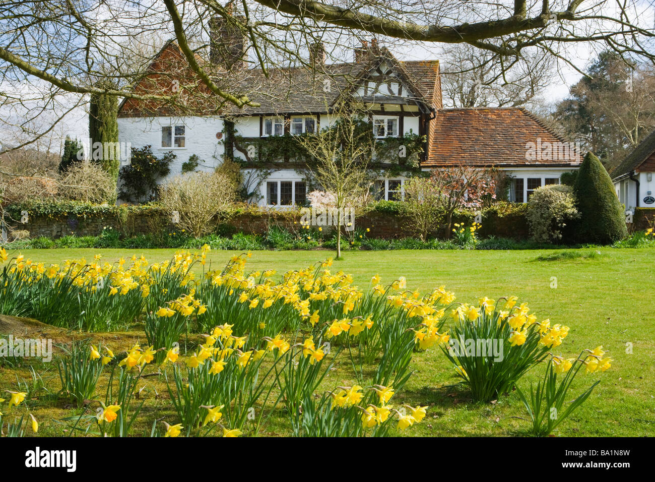 Cottage and daffodils. Shamley green, Surrey, UK - Stock Image