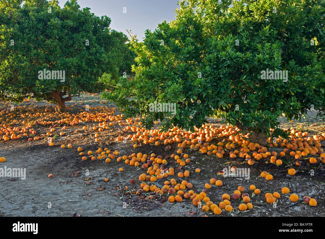 Fallen decaying  'Blood Oranges'  under trees. - Stock Image