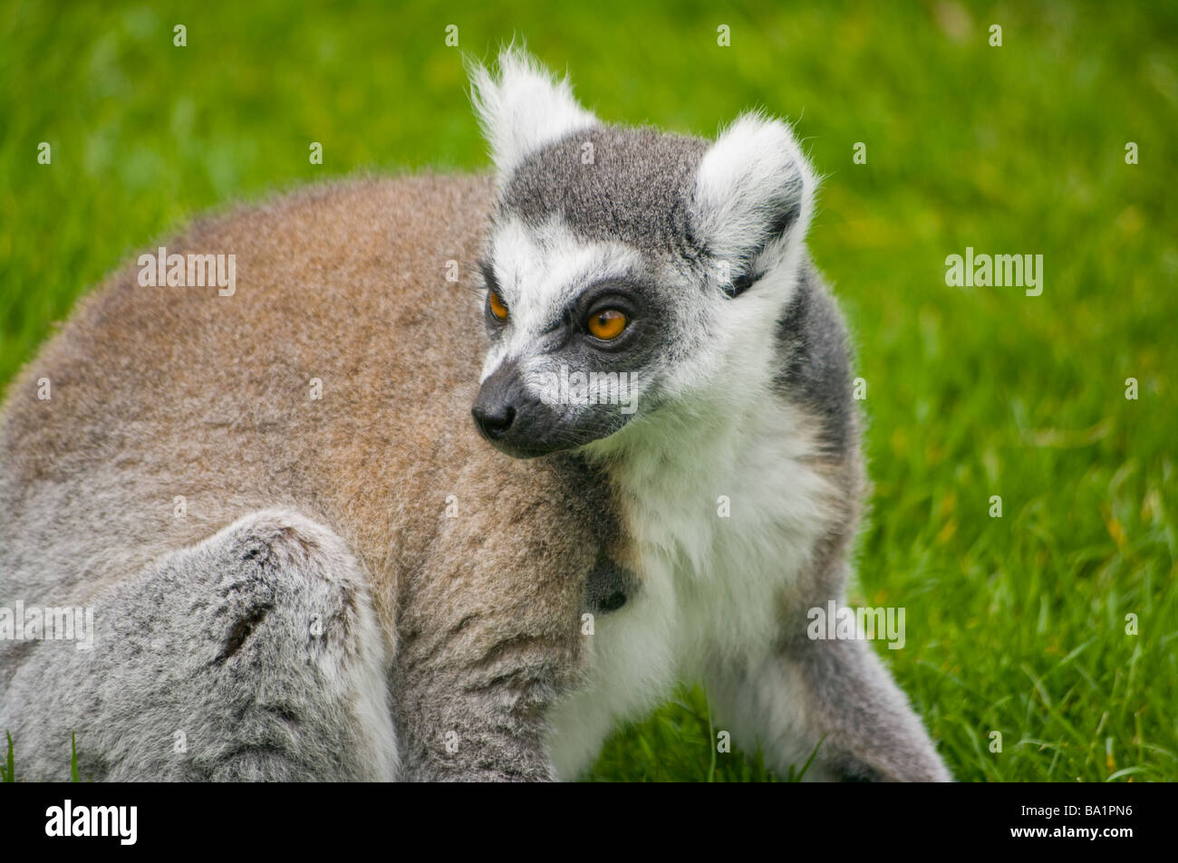 madagascan Ring Tailed Lemur ' Lemur Catta ' lemurs - Stock Image