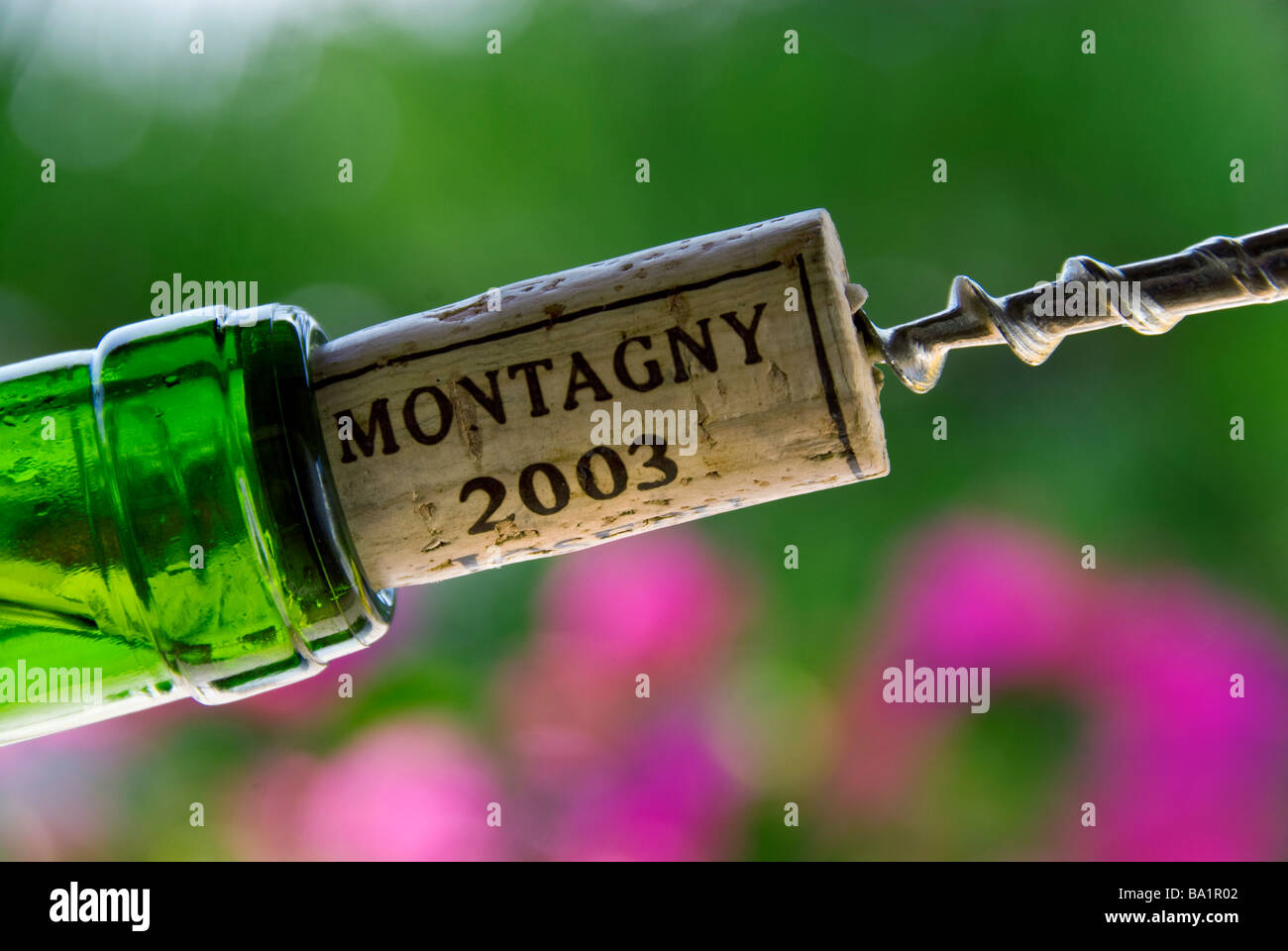 Corkscrew pulling a cork from a bottle of Montagny white burgundy wine 2003 Côte Chalonnaise France - Stock Image
