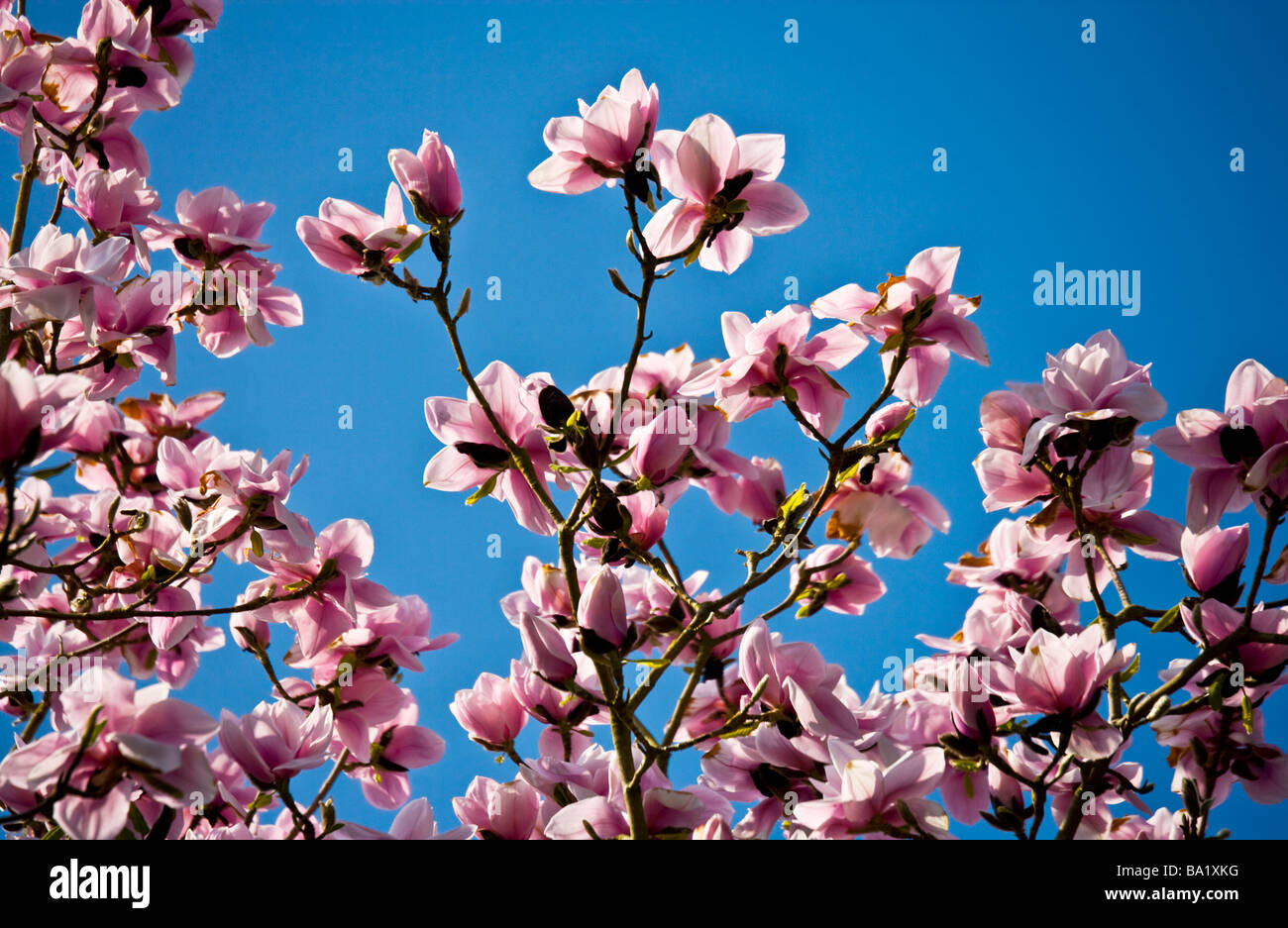 Magnolia campbellii in flower against a deep blue cloudless sky Stock Photo