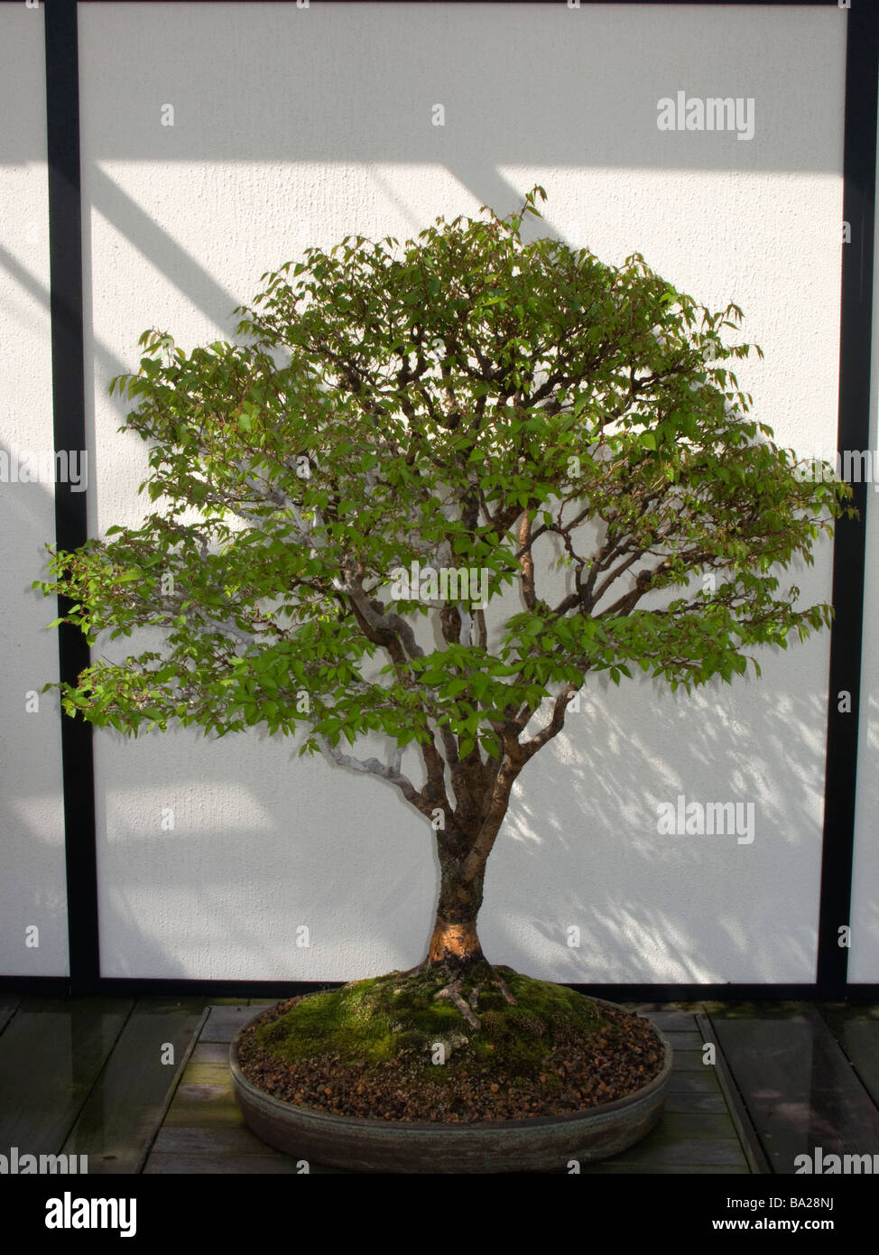 Longwood Gardens Bonsai High Resolution Stock Photography And Images Alamy