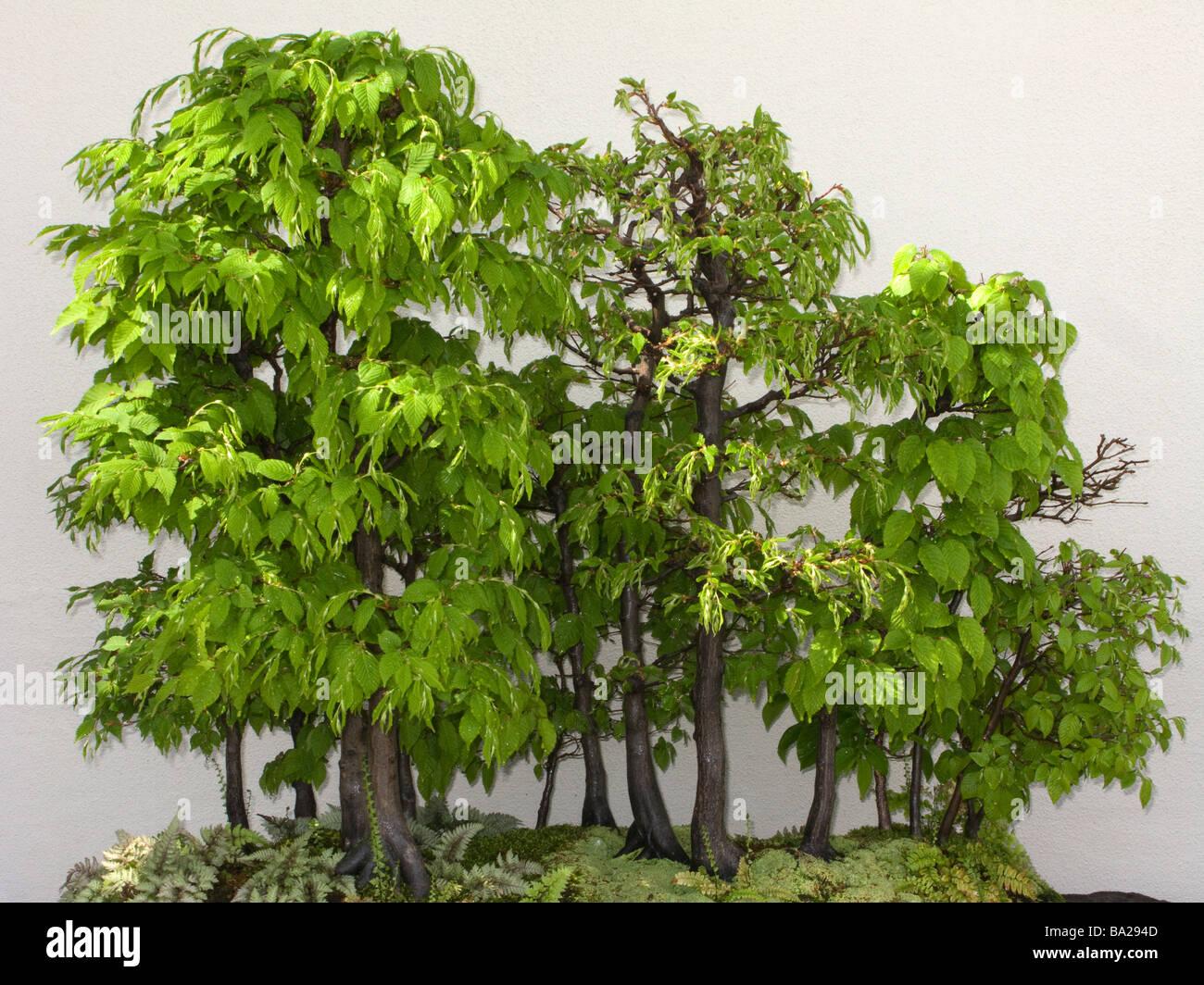 Bonsai Birch Forest Trees Longwood Botanical Gardens Kennett Square Stock Photo Alamy