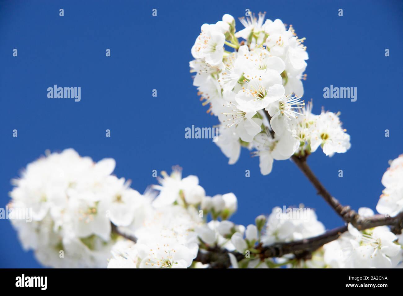 Apple Blossom Against Blu Sky Stock Photo