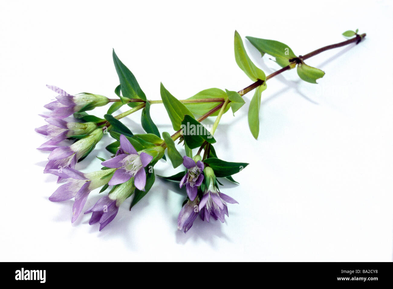 Autumn Dwarf Gentian, Felwort (Gentiana amarella), twig with flowers and leaves. - Stock Image