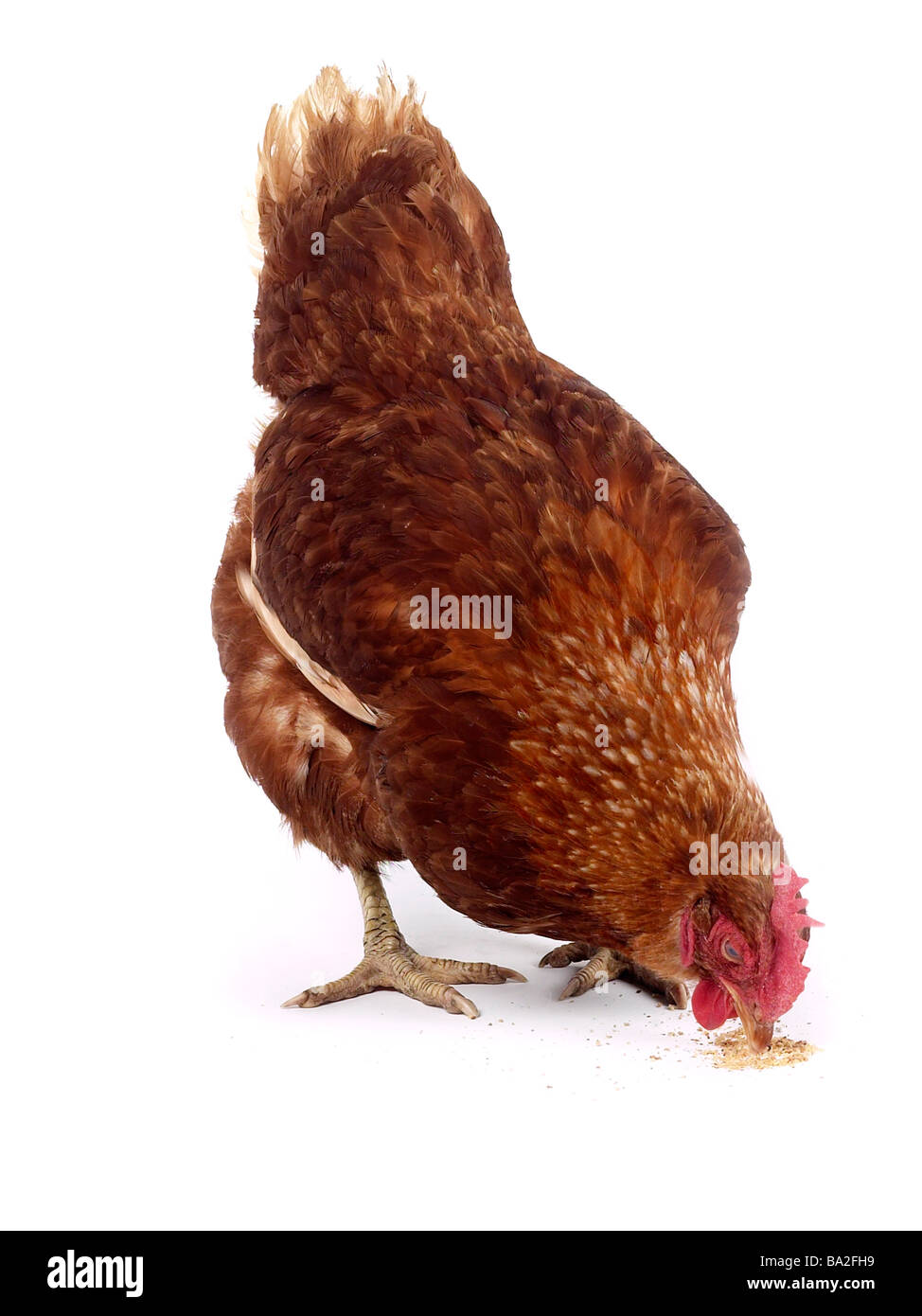 A chicken eating chickenfeed. - Stock Image