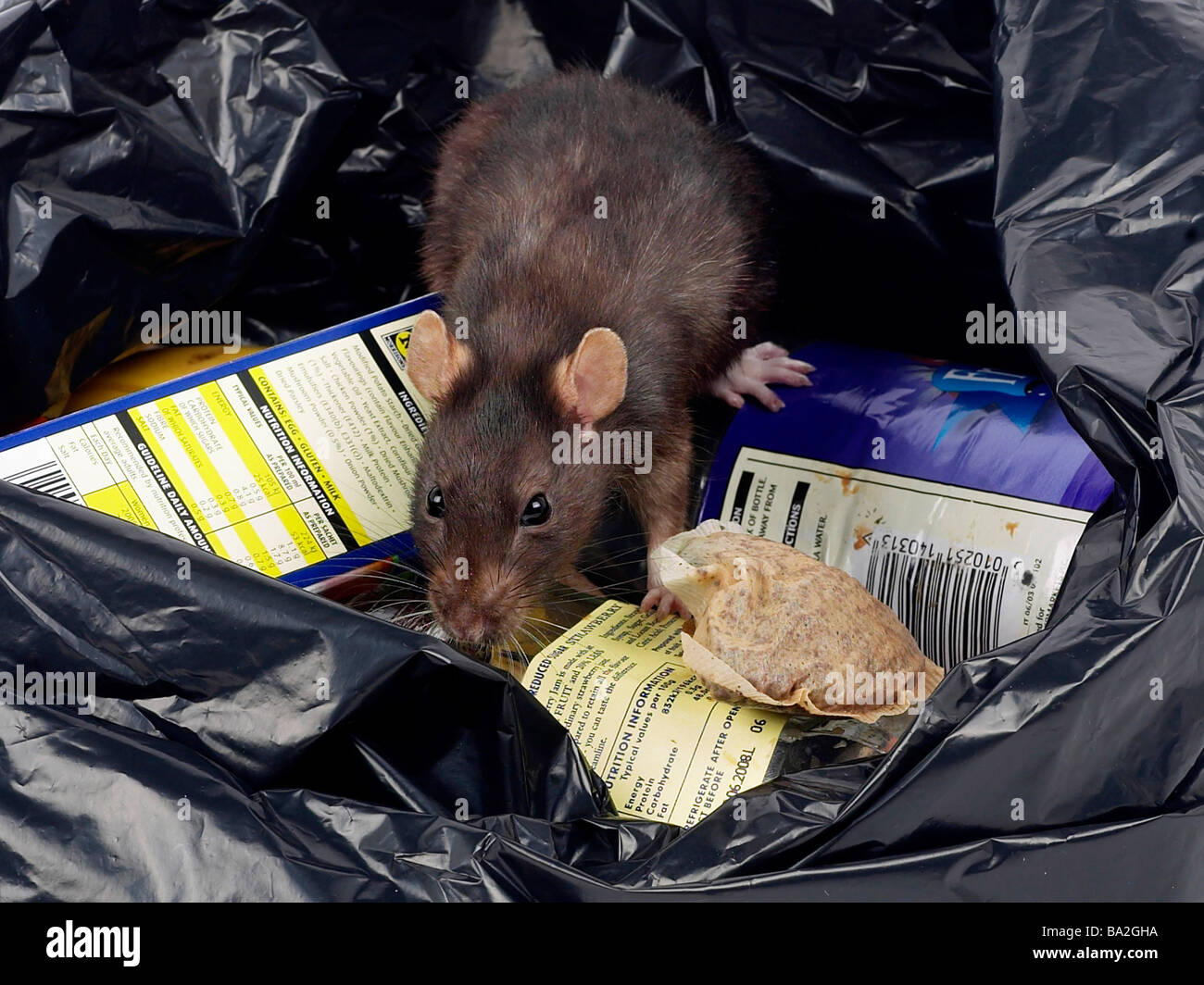A brown rat around rubbish in a bin bag. - Stock Image