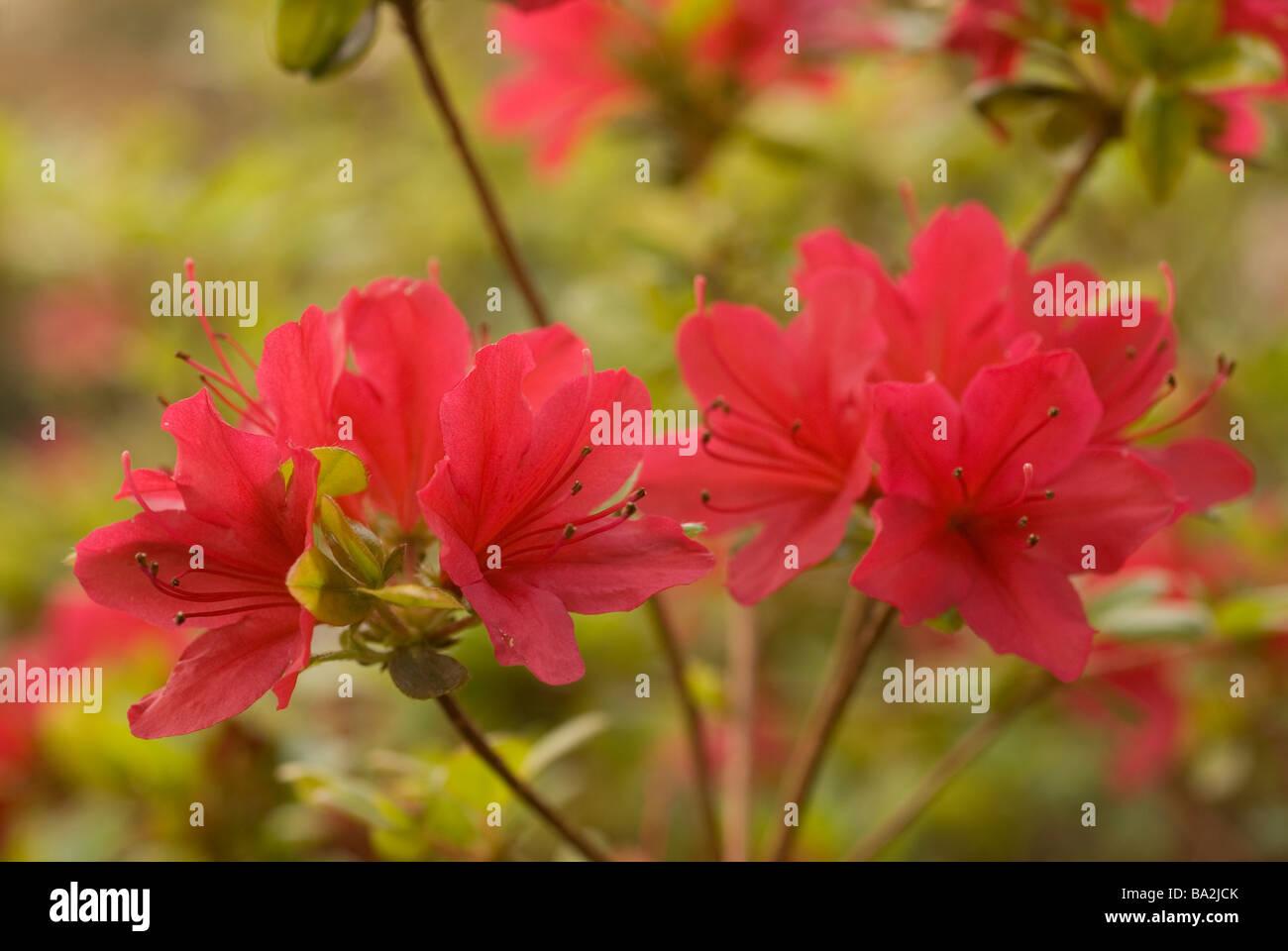 Azalea japonica (Rhododendron), Ericaceae - Stock Image
