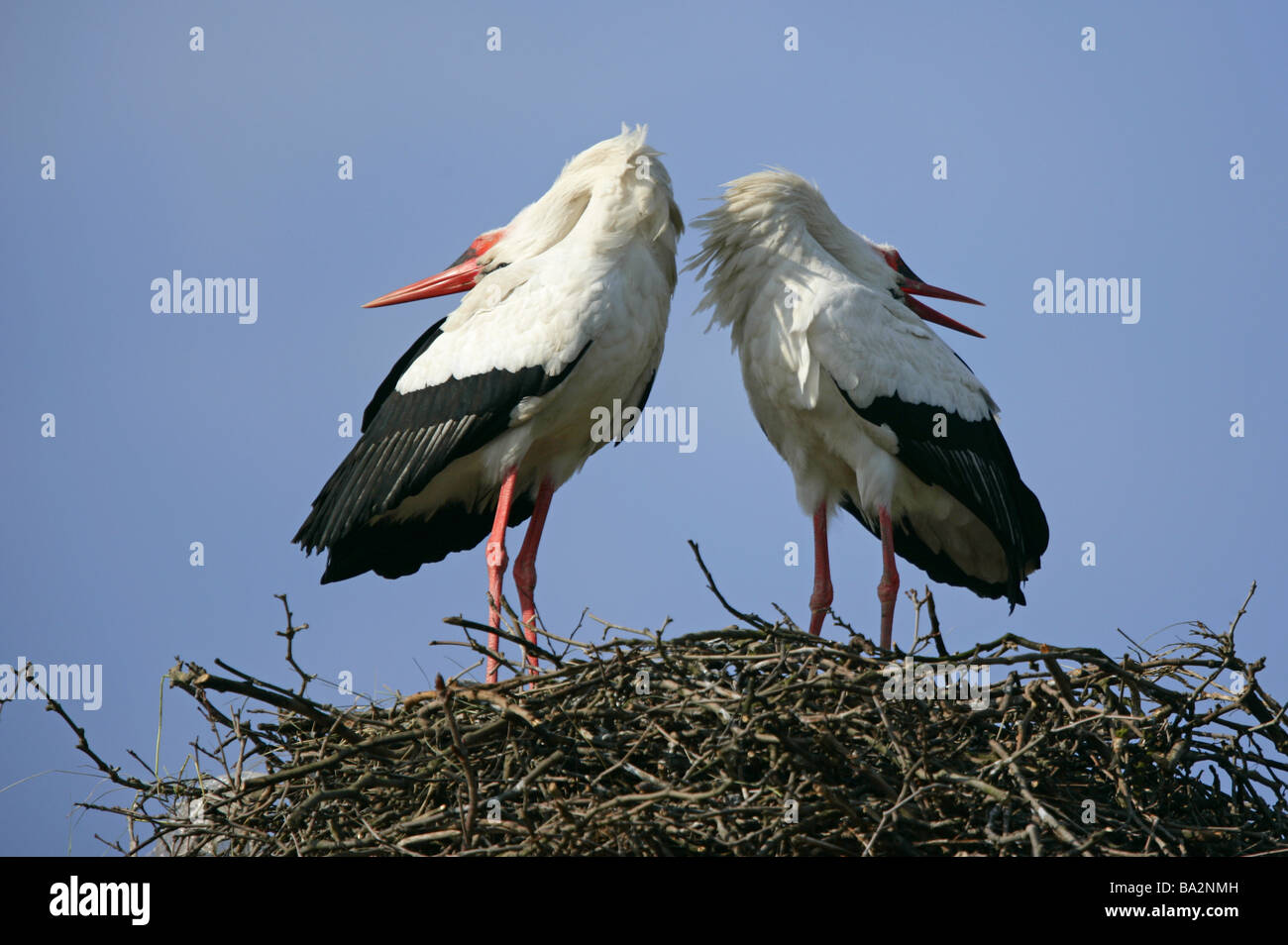 Storchennest Weißstörche Ciconia ciconia perform courtship display wildlife animals game-animals birds migratory Stock Photo
