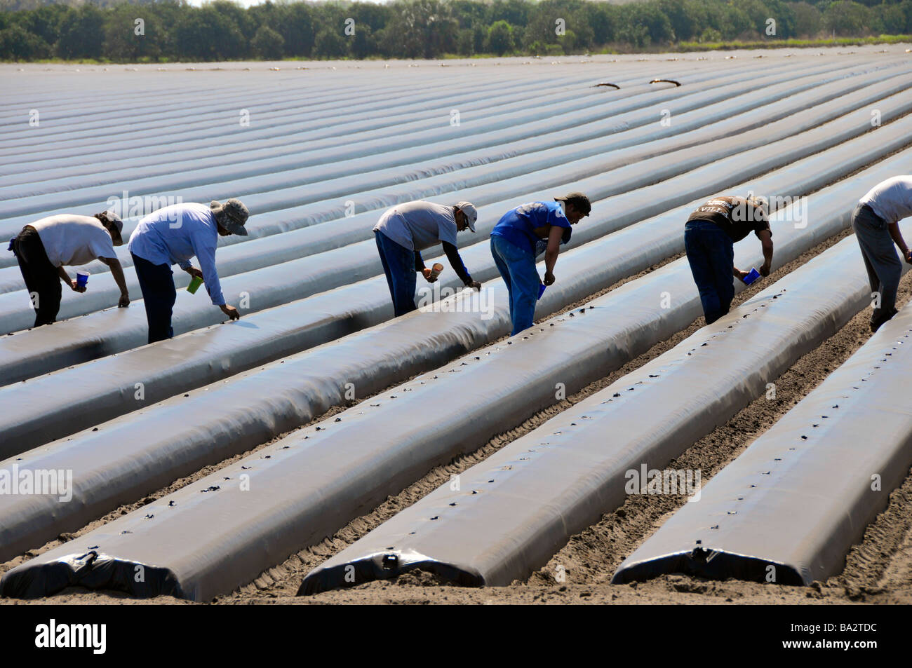Migrant farm workers plant tomatoes in raised beds Plant City Florida Central - Stock Image