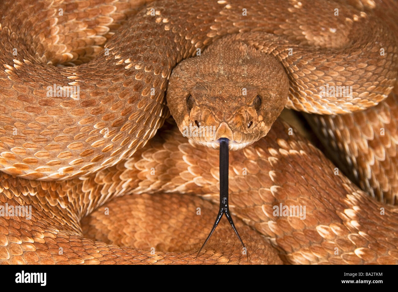 A defensive red-diamond rattlesnake (Crotalus ruber) Stock Photo