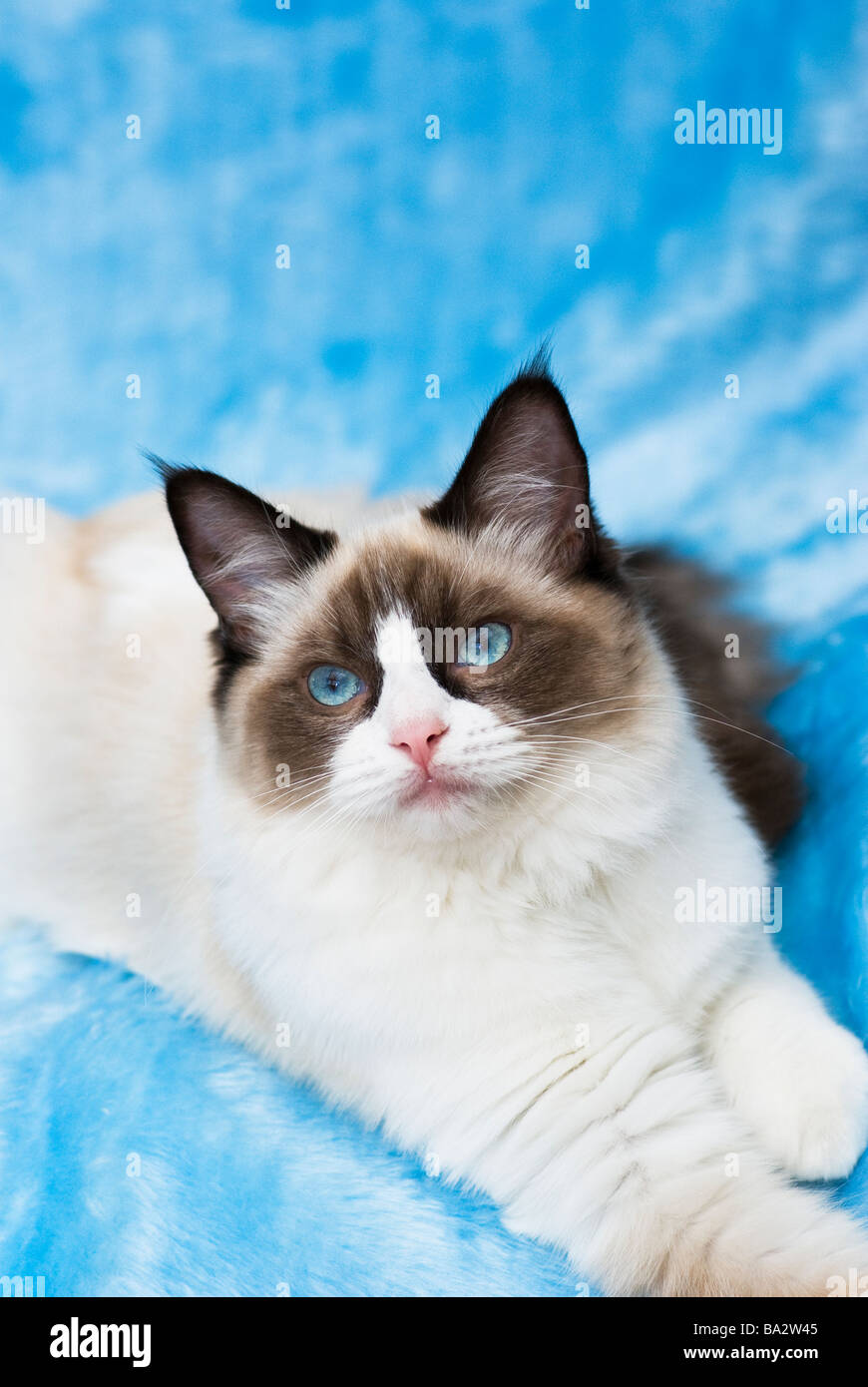 Young Ragdoll Cat On Blue Background Stock Photo 23420549 Alamy