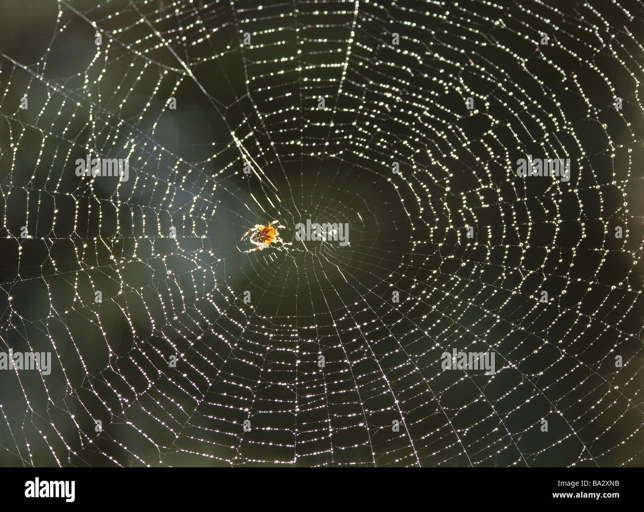 Cobweb wet cross-spider Araneus diadematus back light wildlife animal spider arachnid Webspinne wheel-net-spider - Stock Image