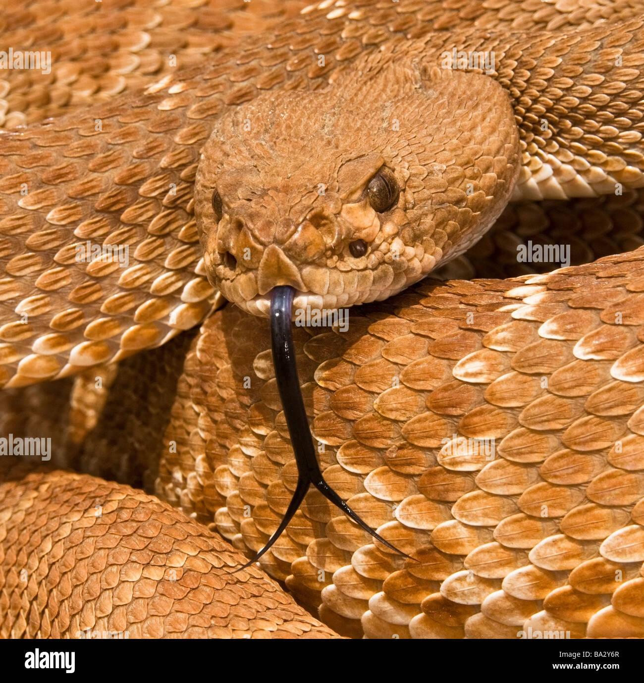Red-diamond rattlesnake(Crotalus ruber), Riverside County, California, USA; rattlesnake posturing defensively - Stock Image