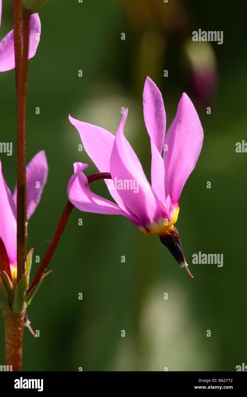 Götterblume Dodecatheon meadia detail bloom pink plant flower primrose-plant meteoroid-flower prime finely - Stock Image
