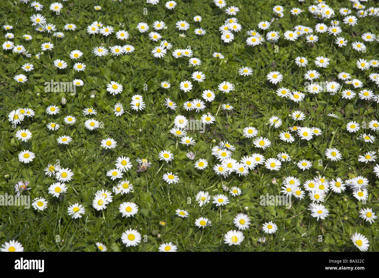 Flower meadow daisies bellis perennis nature flora vegetation botany flower meadow daisies bellis perennis nature flora vegetation botany meadow flowers daisy meadow blooms knows bloom sea grass izmirmasajfo