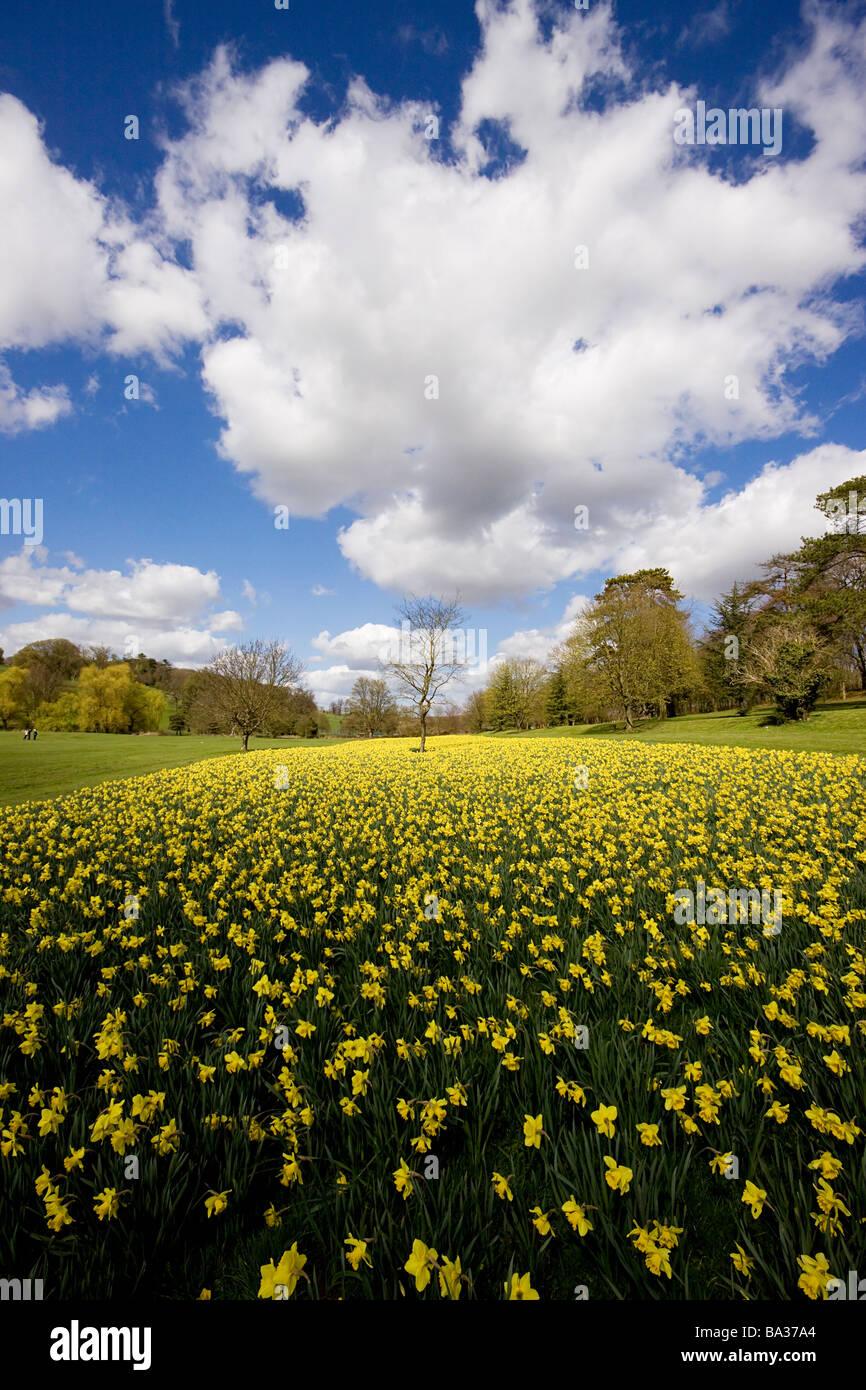 Daffodils park high wycombe buckinghamshire - Stock Image