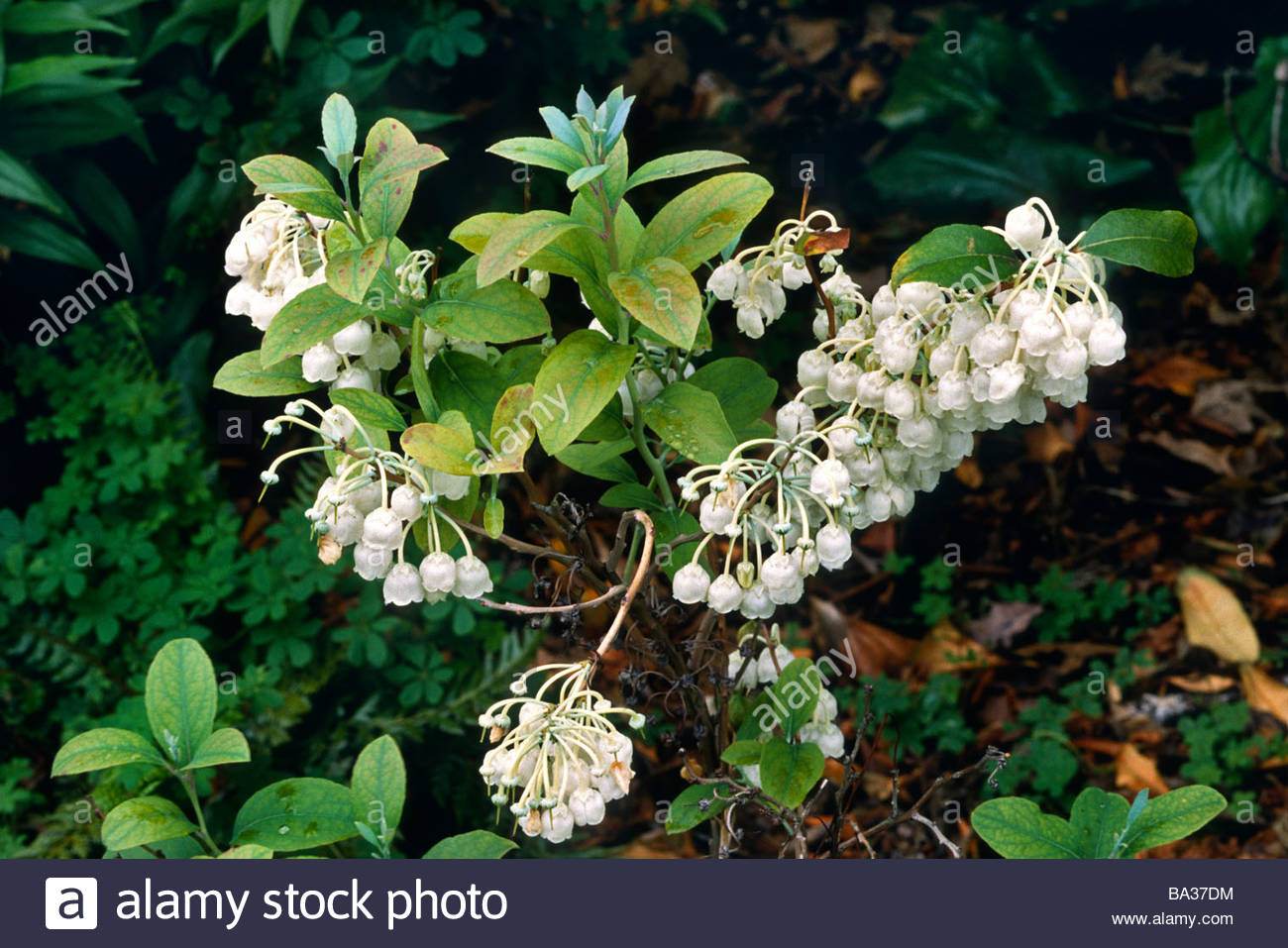Zenobia pulverulenta stock photos zenobia pulverulenta stock zenobia pulverulenta dusty zenobia small semi evergreen shrub with bell shaped white flowers in summer mightylinksfo
