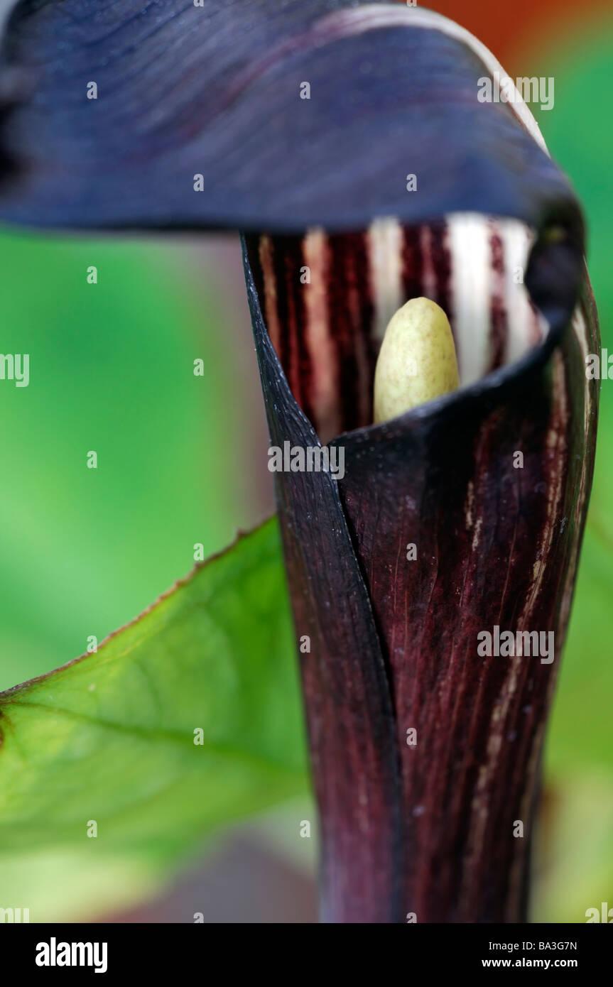 Arisaema sikokianum var henryianium Close up macro image purple brown and white hooded flower cobra lily jack in - Stock Image