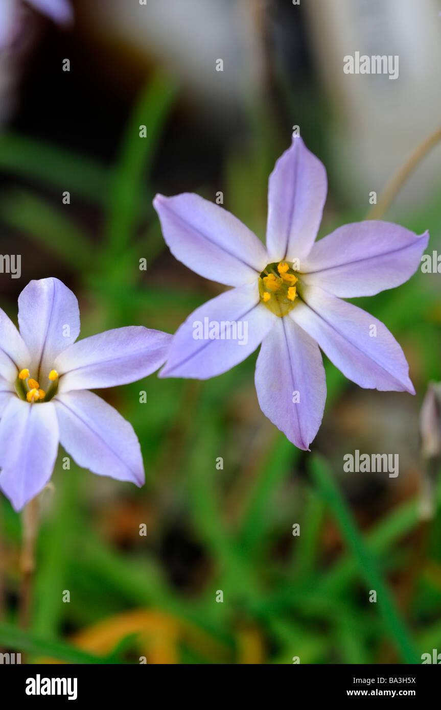 Ipheion Uniflorum Wisley Blue Agm Delicate Lilac Blue Perennial