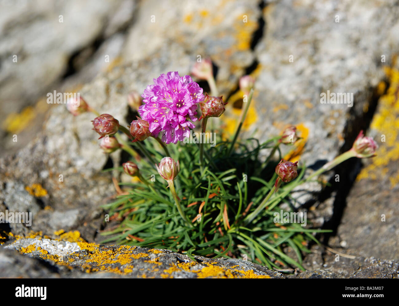 thrift plant flowering in a coastal rock crevice,cornwall,uk - Stock Image