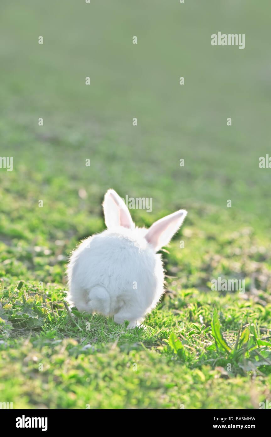 white rabbit on green grass - Stock Image