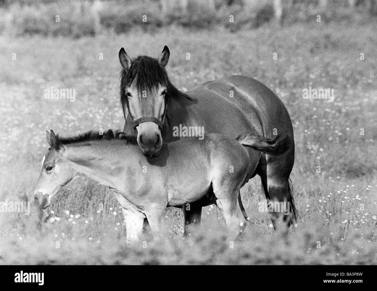 black and white photo, nature, animal world, horse with foal, Equus ferus caballus - Stock Image