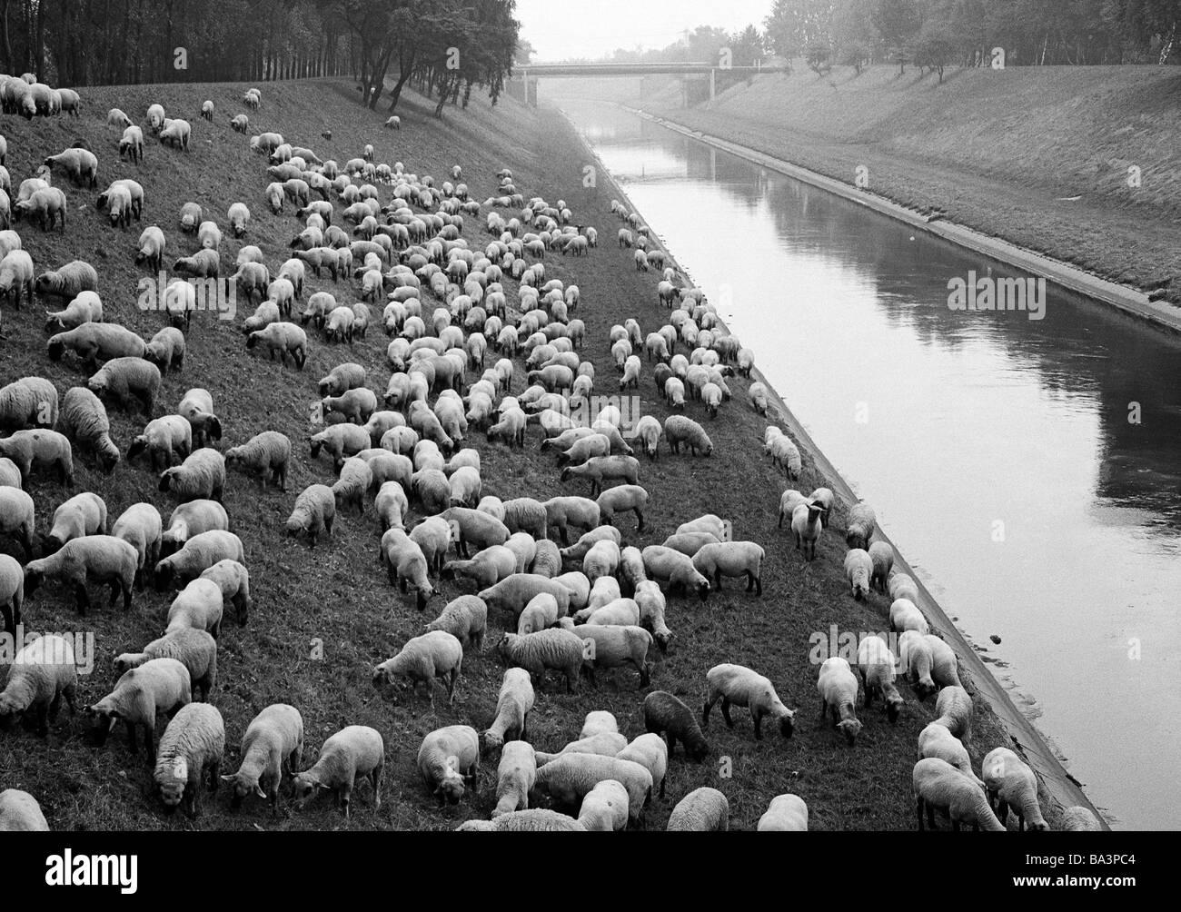 Siebziger Jahre, Schafzucht, Schafherde grast auf einer Uferboeschung an der Emscher in Oberhausen, Ruhrgebiet, - Stock Image